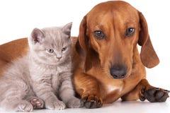 Dachshund dog and kitten. Dachshund dog and litle British kitten stock photos