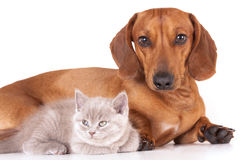 Dachshund dog and kitten Stock Image