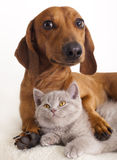 Dachshund dog and kitten. Dachshund dog and litle British kitten royalty free stock photo