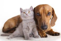 Dachshund dog and kitten. Dachshund dog and litle British kitten stock image
