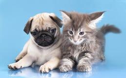 Dachshund dog and kitten Royalty Free Stock Photos