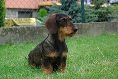 Dachshund. Dog.lactating female dog Stock Photo