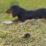 Dachshund Dog Laying by Dead Mole Stock Photo