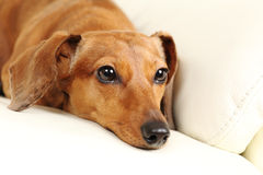 Dachshund dog on sofa Stock Images