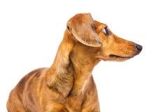 Dachshund dog looking back Royalty Free Stock Images