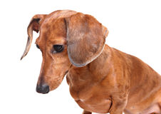 Dachshund dog looking down Royalty Free Stock Photo