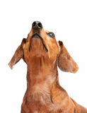 Dachshund dog looking to top Royalty Free Stock Images