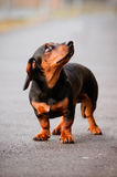 Dachshund dog looking up Royalty Free Stock Image