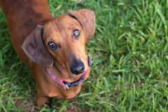 Dachshund dog. Looking up adoringly royalty free stock images