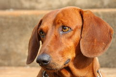 Dachshund dog looking up. Brown short hair dachshund dog looking up Stock Photos
