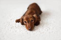 Dachshund dog looks at camera Royalty Free Stock Photos