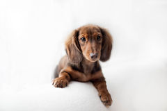 Dachshund dog looks at camera. In home stock images