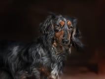 Dachshund dog looks at camera Stock Photo