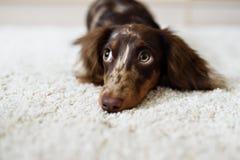 Dachshund dog looks at camera Stock Image