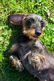 Dachshund dog is lying in a funny pose. Funny dachshund dog is lying in a funny pose Stock Photo