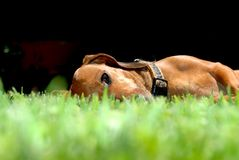 Dachshund dog lying on the grass Royalty Free Stock Images
