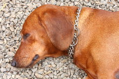 Dachshund dog lying Royalty Free Stock Photography