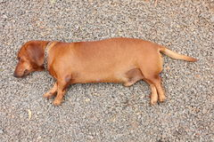 Dachshund dog lying on stone Stock Photography