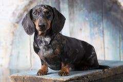 Dachshund dog marble Stock Image