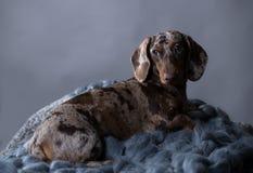 Dachshund dog marble Stock Photo