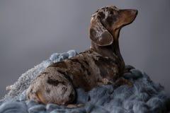 Dachshund dog marble Stock Images