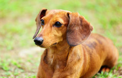 Dachshund dog on meadow Stock Photo