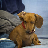 Dachshund dog. Narrowed her lids Royalty Free Stock Image