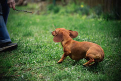 Dachshund dog in outdoor. Beautiful Dachshund playing with man on the green grass. Standard smooth-haired dachshund in the nature. Stock Image