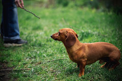 Dachshund dog in outdoor. Beautiful Dachshund playing with man on the green grass. Standard smooth-haired dachshund in the nature. Royalty Free Stock Photography