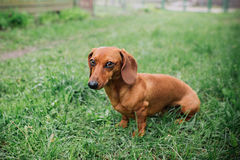 Dachshund dog in outdoor. Beautiful Dachshund standing on the green grass. Standard smooth-haired dachshund in the nature. Dachshu Stock Photo