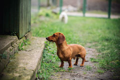 Dachshund dog in outdoor. Beautiful Dachshund standing near the house on the green grass. Standard smooth-haired dachshund in the Royalty Free Stock Photo