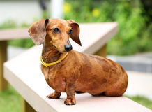 Dachshund dog in park Stock Photography