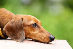 Dachshund dog in park Stock Photo