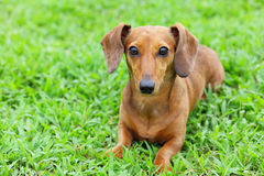 Dachshund dog in park Royalty Free Stock Photo