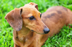 Dachshund dog in park Royalty Free Stock Photography