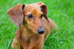 Dachshund dog in park Stock Image