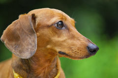 Dachshund dog in park Royalty Free Stock Images