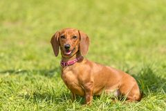 Dachshund dog in the park. Photo of a dachshund dog in the park stock image