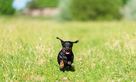 Dachshund dog in the park. A sunny day Royalty Free Stock Photography