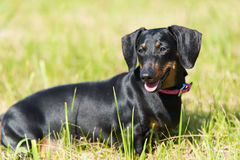Dachshund dog in the park Royalty Free Stock Image
