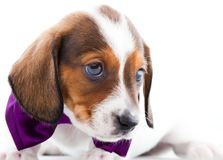 Dachshund Dog Piebald colour studio quality. Light Royalty Free Stock Photo