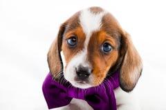 Dachshund Dog Piebald colour studio quality. Light Stock Photo