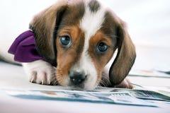 Dachshund Dog Piebald colour studio quality. Money dollar Stock Photos
