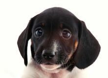 Dachshund Dog Piebald colour studio quality. Portrait Stock Photo
