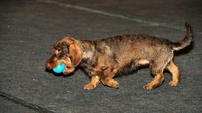 Dachshund dog playing Stock Photography