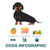 Dachshund dog playing infographic vector elements set flat style symbols puppy domestic animal illustration Royalty Free Stock Images