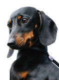 Dachshund dog portrait Royalty Free Stock Images