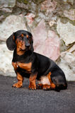 Dachshund dog portrait Stock Images