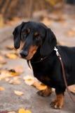 Dachshund dog. Portrait of a Dachshund dog Stock Image