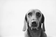 Dachshund Dog Portrait. In black & white Royalty Free Stock Photo